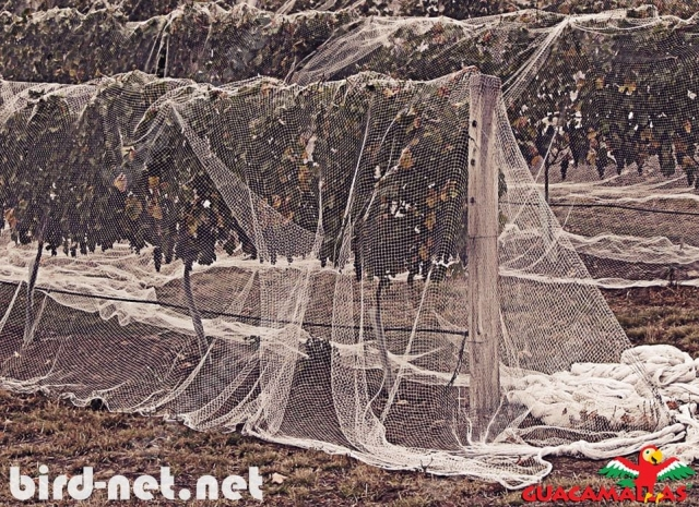 GUACAMALLAS bird control net is easily applied directly over the trees